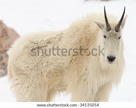 mountain goat looking at camera