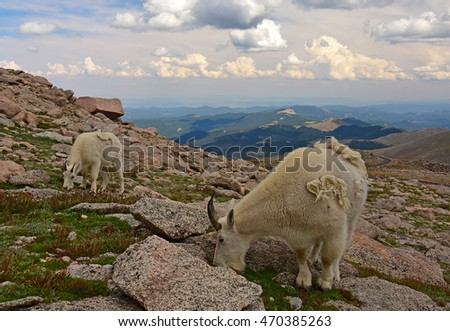 mountain goat nanny and kid grazing  on mount evans, colorado