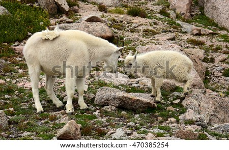 mountain goat nanny and kid  on mount evans, colorado