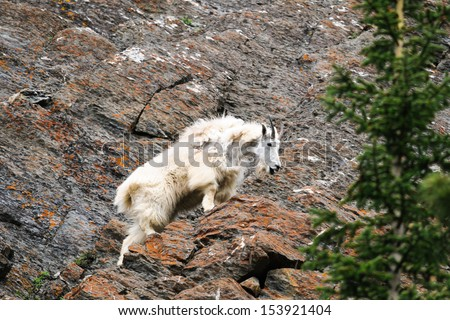 Mountain goat  on a Cliff face, Jasper National Park Alberta Canada - stock photo