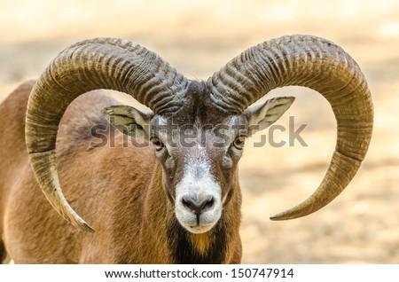Mountain Goat Portrait - stock photo