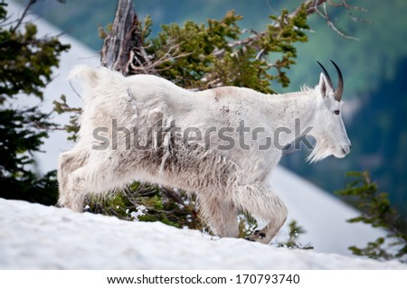 Mountain goat threads his way through the snow in Glacier National Park - stock photo