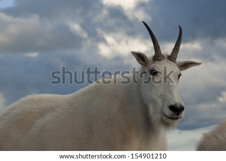 Mountain goat with kid on top of Mount Evans. Colorado. - stock photo