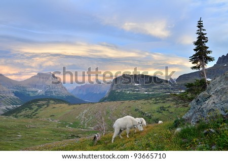 Mountain Goats at Logan Pass in Glacier National Park - stock photo