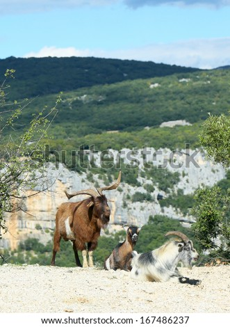 Mountain goats in the Ardeche Gorge, France