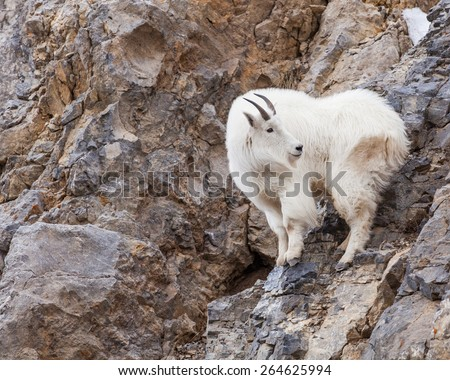 Mountain goats were found along the Snake river canyon in Wyoming. - stock photo