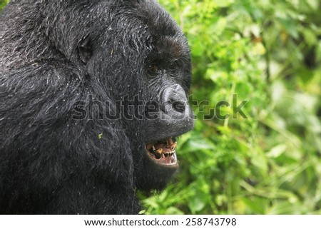 Mountain gorilla, Democratic Republic of Congo, Safari, Wildlife, Monkey, Africa, Jungle - stock photo