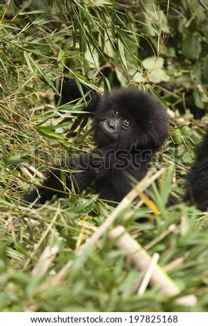 Mountain Gorilla, Gorilla beringei beringei, Infant resting, Volcanoes National Park, Rwanda, Africa. - stock photo