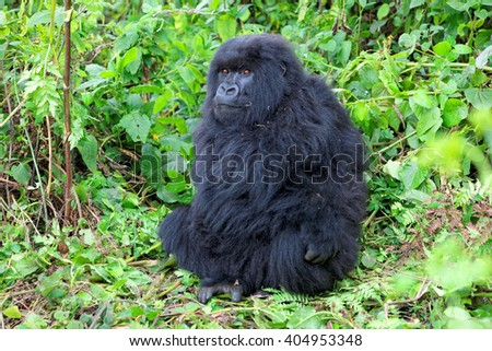Mountain gorilla in the Volcanoes National Park of Rwanda, Central Africa - stock photo