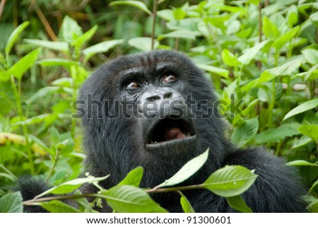 Mountain Gorilla in Volcano National Park (Rwanda) - stock photo