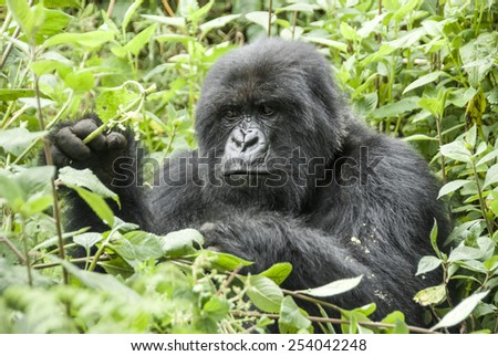 Mountain Gorilla in Volcanoes National Park (Rwanda) - stock photo