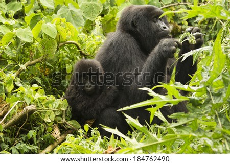 Mountain gorillas, Gorilla gorilla beringei,  ENDANGERED, Kwitonda group, mother and baby, female eating thistle, Volcanoes National Park, Rwanda - stock photo
