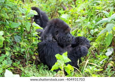 Mountain gorillas in the Volcanoes National Park of Rwanda, Central Africa