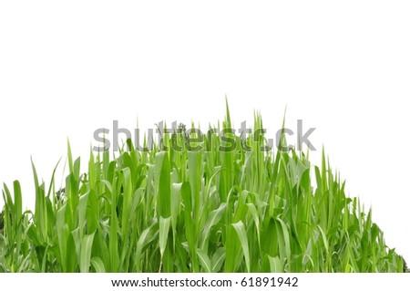 Mountain grass as white isolate background - stock photo