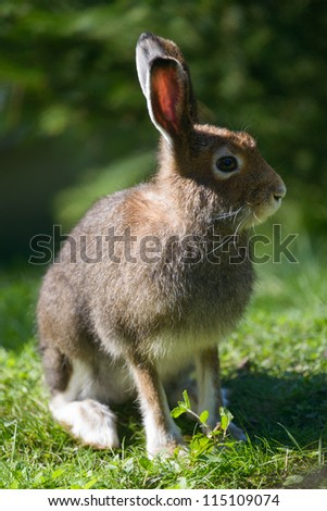 Mountain Hare (lat. Lepus timidus) with brown hair in summer - stock photo