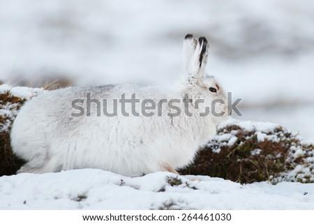 Mountain Hare (Lepus timidus) in snow - stock photo