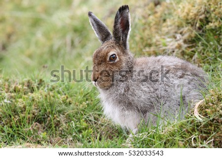 Mountain Hare (Lepus timidus) in the highlands of Scotland taking  shelter in a 'form', which is simply a shallow depression in the ground or heather.