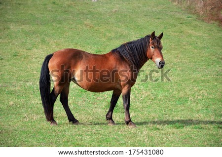 Mountain horse in a sunny meadow - stock photo