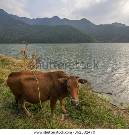 Mountain Lakes Cattle - stock photo