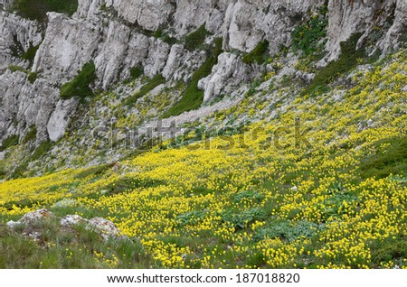 Mountain landscape: beautiful yellow floral carpet at the bottom of the steep limestone coomb. Blooming spring landscape in low mountains