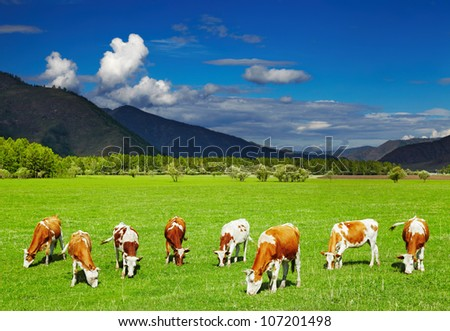 Mountain landscape with grazing cows and blue sky - stock photo
