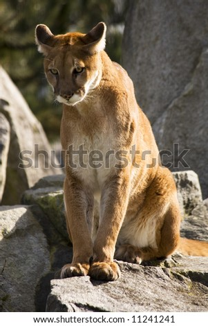 Mountain Lion Cougar Looking for Prey.  The Mountain Lion is a hunter and is always looking for movement to go after. - stock photo