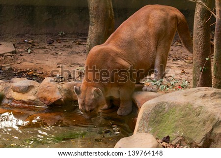 Mountain Lion (cougar or puma) drinking water on lake - stock photo