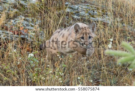 mountain lion cub or kitten on a rocky ledge
