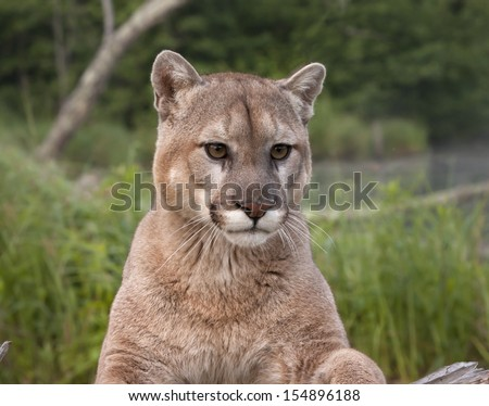 Mountain Lion Head and Shoulders - stock photo