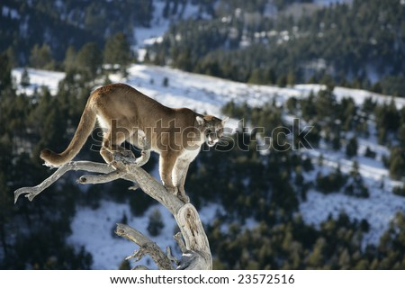 Mountain Lion in  Dead Tree - stock photo