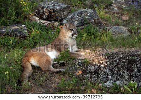 Mountain Lion in Montana. - stock photo