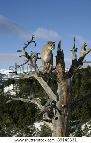 Mountain Lion in Tree - stock photo