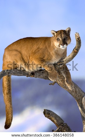 Mountain lion is sitting on deadwood and looking camera.The puma in the middle of the frame.His head, shoulders, forepaws, claws, tail and entire body can seen clearly. His tail is dangling from tree - stock photo