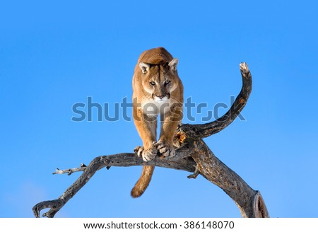 Mountain lion is standing on deadwood and looking camera angerly.His head, shoulders, forepaws, claws, tail and entire body can seen clearly.He has a strong body.The mountain lion habitat.It's winter - stock photo