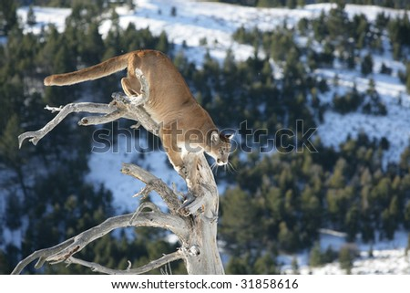 Mountain Lion Jumping From a Dead Tree - stock photo