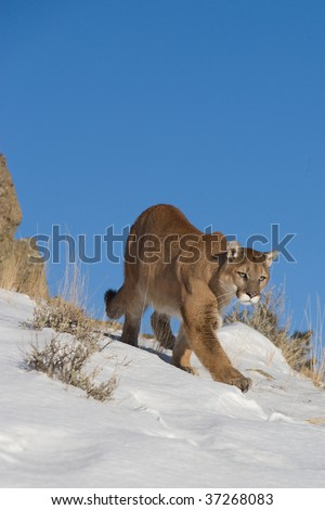 Mountain Lion looking for prey - stock photo