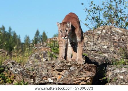 Mountain Lion on a rocky ridge. - stock photo