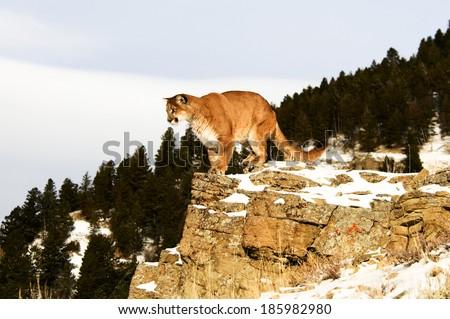 Mountain Lion on cliff - stock photo