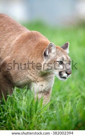 mountain lion or cougar - stock photo