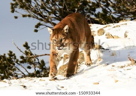 Mountain Lion Prowling - stock photo