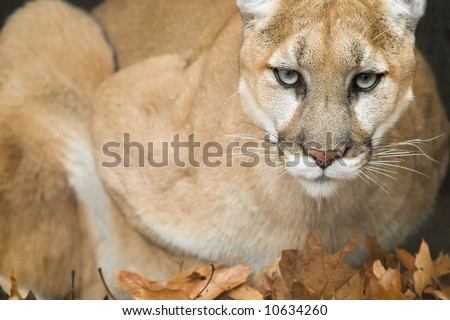 Mountain lion (Puma concolor) portrait, captive, Michigan, USA - stock photo