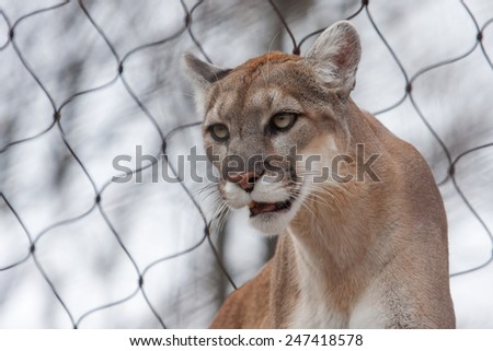Mountain Lion- Puma - Cougar close up with fence. - stock photo