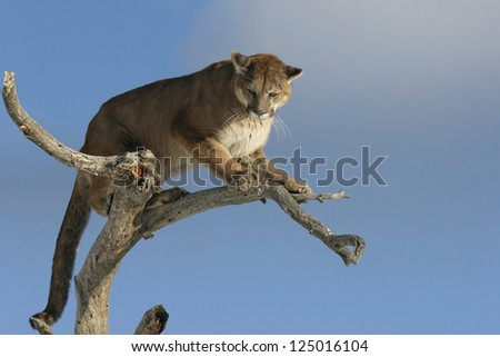 Mountain Lion- Puma - Cougar in tree - stock photo