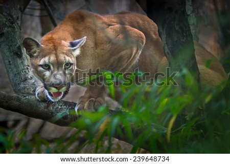 Mountain Lion- Puma - Cougar in tree - stock photo