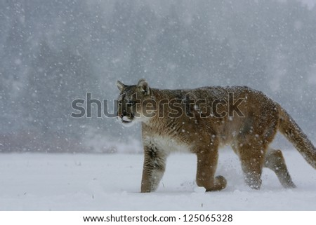 Mountain Lion- Puma - Cougar walking in snow storm - stock photo