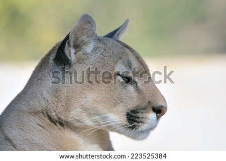 Mountain lion, puma or cougar, the second-largest feline in the Americas after the jaguar  - stock photo