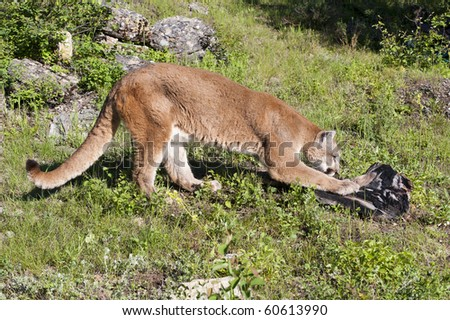 Mountain lion scratches at dead log in alpine meadow surrounded by rocks.