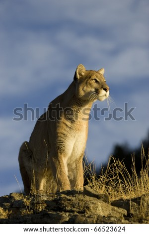 Mountain Lion sits on a rocky outcrop - stock photo