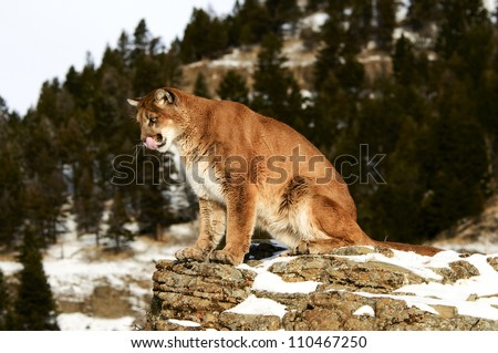 Mountain Lion sitting on rocky ledge - stock photo