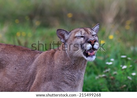 mountain lion sniffing - stock photo